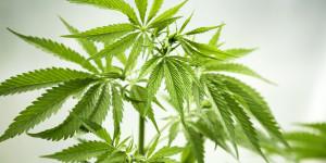 Una pianta di canapa non è reato